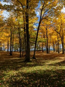 Picture of tall trees in the U.P. that are changing colors