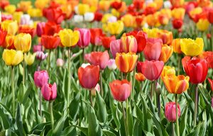 Picture of brightly colored tulips
