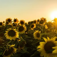 Photograph of a field of sunflowers with the sun shining on it
