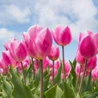 Photo of bright pink tulips